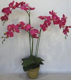 35' Fuchsia Phalaenopsis Orchid with Pot -- Click image for more details.