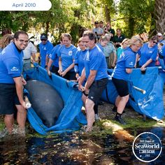 SeaWorld returned Eva the manatee and her mother Mossback at Blue Springs Park near Orlando, FL. The pair was rescued when both of Mossback's pectoral flippers were severely entangled in fishing line. #365DaysOfRescue