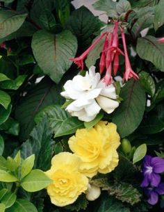 Begonias (Begonia spp.) are available in many different varieties, including Rex, wax, tuberous and cane-stemmed types. These plants fall into the tropical and subtropical category of perennials, ...