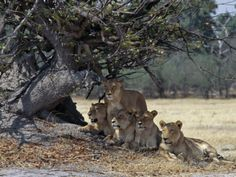 Pride of Lions in the Moremi Wildlife Reserve, Okovango Delta, Botswana