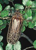 iconic kiwi bug - the huhu