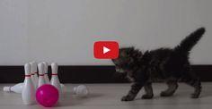 Osamu the Kitten Loves Bowling