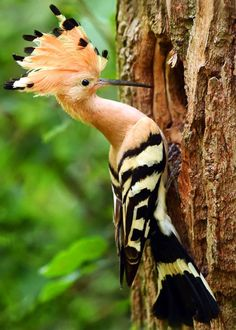 15 of the Most Beautiful Birds in the World (Pictures, Video.- 15 of the Most Beautiful Birds in the World (Pictures, Videos…) Hoopoe Upupa epops - Amazing Animals, Animals Beautiful, Cute Animals, Polar Animals, Wild Animals, Amazing Animal Pictures, Pretty Animals, Baby Animals, Most Beautiful Birds