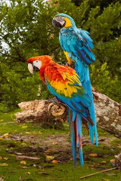 Birds on the Amazon River: Parrots, Rainforest, Marshland, Wild Animal, Jungle, Peru,
