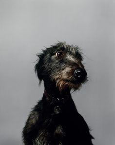 'Irish Wolf Hound'. A man needs a dog.