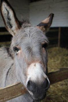 Sacrewell Farm Donkey | d o n k e y | Pinterest | Bauerhöfe, Esel und ...