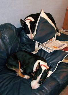 My bullies, Daisy and Badger. :) #bullie #english bull terrier