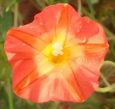 Ipomoea sloteri 'Apricot Candy' is a NEW cultivar from Texa s. Ipomoea sloteri is NOT to be confused with Ipomoea quamoclit Cypress Vine. What sets 'Apricot Candy' apart from the 'Regular' Solid RedIpomoea sloteri is the Unusual 'Flower Color Dilution'. Morning Glory Vine, Morning Glory Flowers, Morning Glories, Pretty Flowers, Colorful Flowers, Rare Flowers, Beautiful Roses, My Flower, Flower Pots