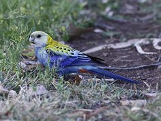 Pale-headed Rosella (Platycercus adscitus). Australian Parrots, Parakeet, Beautiful People, Inspired, Animals, Wallpaper For Phone, Birds, Animales, Animaux