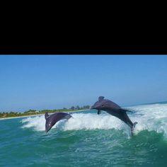 Dolphins off Sanibel Island