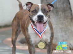 ANGELICA - ID#A1712276 I am a spayed female, brown brindle and white American Bulldog. The shelter staff think I am about 2 years old I have been at the shelter since Aug 16, 2015. For more information about this animal, call: Miami-Dade Animal Services at (305) 884-1101 Ask for information about animal ID number A1712276