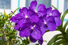 Some facts about vanda: Vanda is a genus in the orchid family (Orchidaceae), which although not massive about 80 species. This flower and its allies are considered to be among the most specifically adapted of all orchids within the Orchidaceae. The flower is highly prized in horticulture for its showy, fragrant, long-lasting, and intensely colorful flowers. Vanda species are widespread across East Asia,Southeast Asia, and New Guinea, with a few species extending into Queensland and  some of…