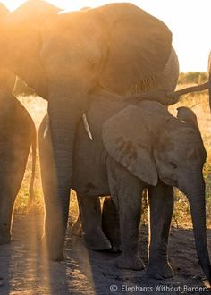 A young elephant gives a warm reassuring embrace to its younger sibling.... Please remember August 12/14 is International World Elephant Day... bring the world together to help elephants have a brighter future! Global March for Elephants and Rhinos-Kasane, Botswana