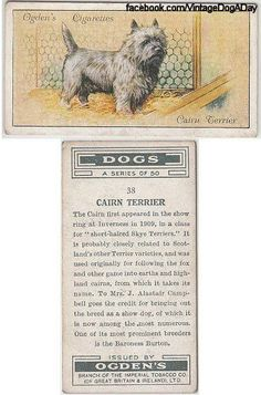 Cairn terrier origin... Pet Dogs, Dogs And Puppies, Pets, Doggies, Cairn Terriers, Terrier Dogs, Cairns, Hounds Of Love, Pet Loss Grief