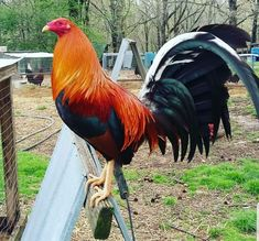 Pet Chickens, Chickens Backyard, Chicken Facts, Moon Beach, Game Fowl, Raw Beauty, Galo, White Tail, Hobby Farms