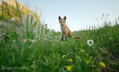 Young Red Fox @ 20mm by Shayna Hartley on 500px