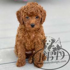 Toy Poodle Puppies, Mini Poodles, Teddy Bear, Cute, Animals, Design, Storage, Animales, Animaux