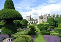 Levens Hall Garden, Cumbria. The only surviving garden from the 17th century. The picture presents one of Levens Hall's famous topiary yews known as the 'Umbrella Tree'.