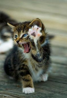 I don't know why,but when I saw this kitten it reminded me of what Robin Williams does with hand & hisses