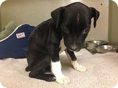 Dallas, TX - Pit Bull Terrier Mix. Meet Shelby, a puppy for adoption. http://www.adoptapet.com/pet/11529188-dallas-texas-pit-bull-terrier-mix