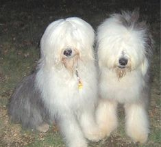 English sheep dogs - Two heads are better than one.
