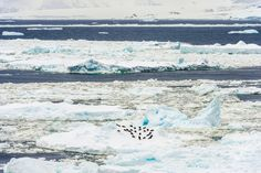 Penguin colony in on an ice shelf in the Antarctic seas.