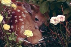 Another fawn resting in a field of flowers http://ift.tt/2r1UxMq