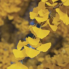 Ginkgo biloba   If you want a tree with yellow fall color, ginkgo is guaranteed gold. The emerald green leaves suddenly turn a bright yellow as the days cool. Then they drop all at once, spreading a golden carpet on the ground. Though this tree grows slowly, it becomes more beautiful as it ages, so be patient. Place in a location with deep, loose, well-drained soil.Female trees produce foul-smelling fruit, so plant only named male selections.