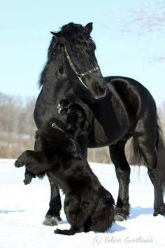 Big black dog and black horse playing in the snow! Horse love.