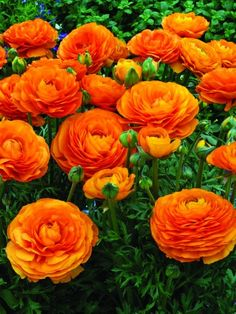 Ranunculus Mache Orange- I may try to grow some this year Types Of Flowers, Beautiful Flowers, Gaura, Persian Buttercup, Fleur Orange, Bulb Flowers, Ranunculus Flowers, Planting Bulbs, Plantation