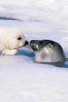 Seal mother popping her head up a hole in the ice to check in by nose touch with her still white pup