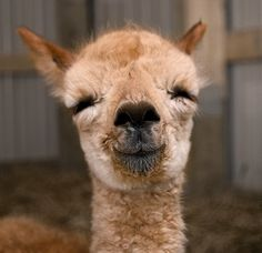 I'm such a happy llama; don't need none of your drama  I've got the cutest smile from here to Yokohama  If you've got major trauma, like a rip in your pajama,  Just gaze into my happy face until you're feeling warma.