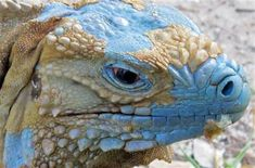 Roughly 700 Grand Cayman Blue Iguanas  (Cyclura lewisi) breed and roam free in protected woodlands on the eastern side of Grand Cayman, a 22-mile-long speck in the western Caribbean that is the only place where the critically endangered animals are found in the wild.