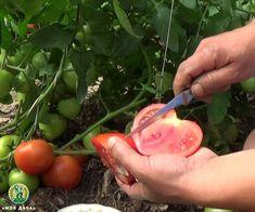 Срочно сделайте это с помидорами и урожай будет вкусный и сахаристый | «Моя Дача» — Растениеводство | Яндекс Дзен