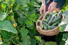 Pestovanie uhoriek v kvetináči aj záhonoch – odrody, sadenie, zaštipnutie, polievanie, choroby | TopByvanie.sk Cactus Plants, Asparagus, Zucchini, Banana, Landscape, Fruit, Vegetables, Food, Homesteading