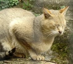 Jungle Cat Information for Kids Unusual Animals, Cute Animals, Chausie Cat, Crazy Cats, Big Cats, Wild Cat Species, Domestic Cat Breeds, Small Wild Cats, Cute Puppies And Kittens