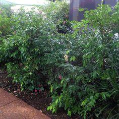 Syzygium leuhmanii.  Riberry. 8m