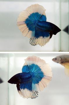 Black turquoise #betta #fish