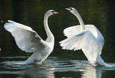 swans by © ronnietook1 (darren morgan), via Flickr.com
