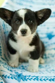 """""""When I grow up, I will be able to fly with my ears."""" -- A Cardigan Welsh Pembroke Corgi Puppy Dogs"""