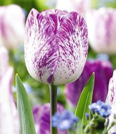 Tulip 'Supri Dotti'