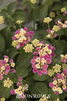 Monrovia's Bandana® Pink Lantana details and information. Learn more about Monrovia plants and best practices for best possible plant performance.