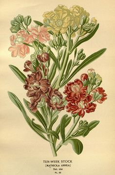 """Stock, from """"Favourite flowers of garden and greenhouse"""" 1896-97."""