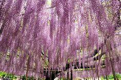 樹齢150年の藤棚・栃木県〈あしかがフラワーパーク〉