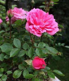 Miniature Rose, after the rain...