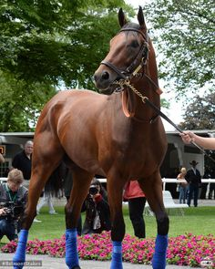 American Pharoah - perfect combination of physical fitness and natural beauty