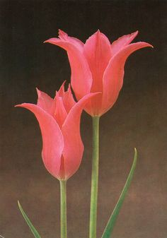 Tulip «Lilac Time»