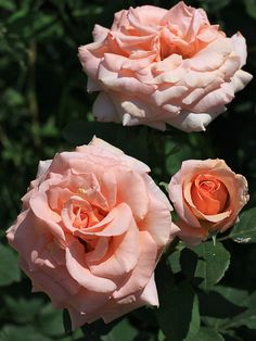 'Warm Wishes' Rose Most Beautiful Flowers, All Flowers, Pretty Flowers, Beautiful Gardens, Color Melon, Rose Varieties, Types Of Roses, Rose Perfume, Gardens