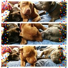 Three staffies playing on the bed. Love the bully breed.