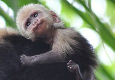 weight of full grown capuchin monkey - Google Search